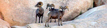 Joshua Tree Desert Bighorn Sheep
