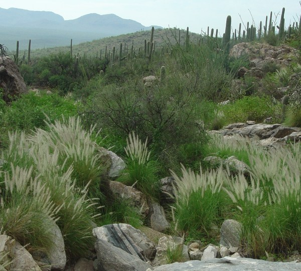 fountain grass - saguaro national