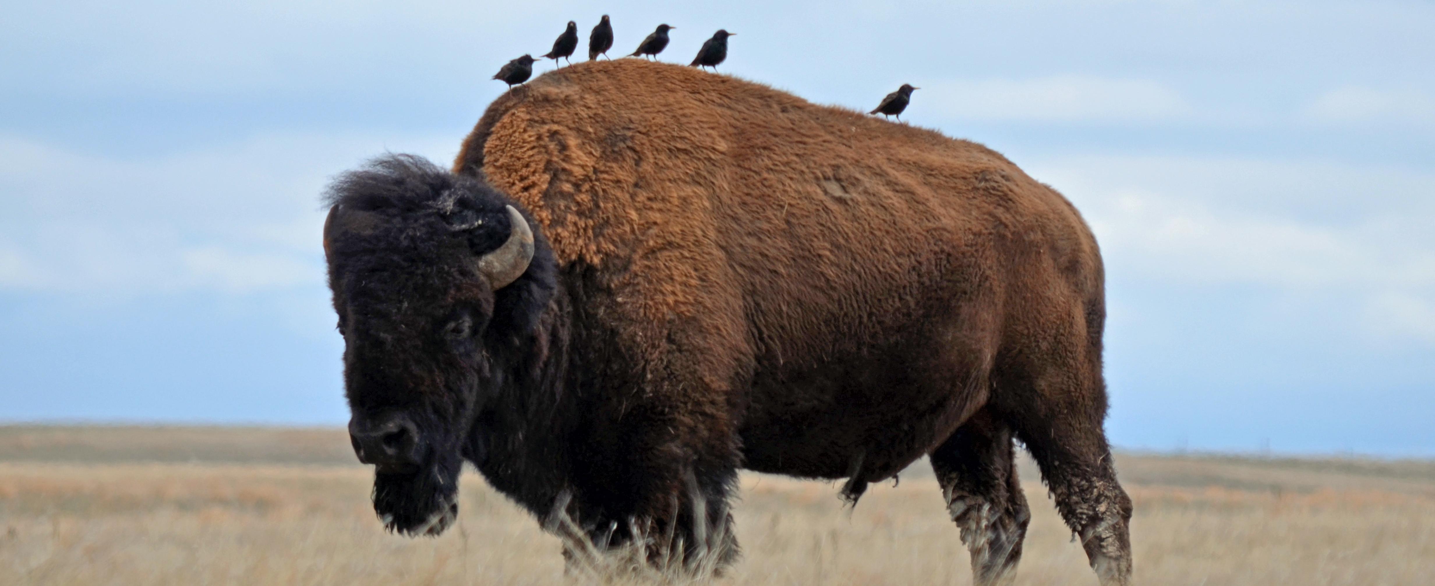 Bison Buffalo Bison Bison Wind Cave National Park U