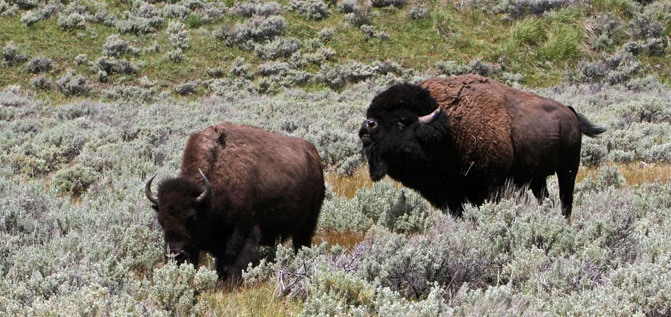 yellowstone bison yellowstone national