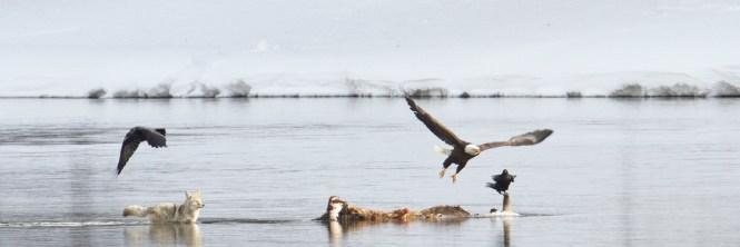 Bald Eagles Share A Meal