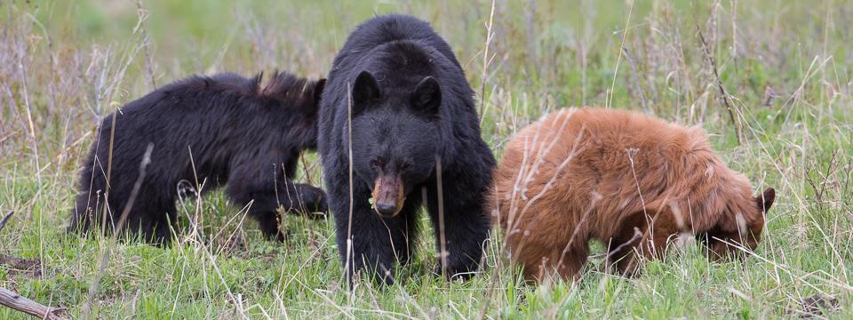black bear yellowstone national