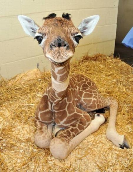 NRDC Giraffe