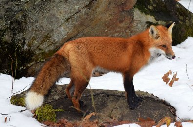 Creature Feature: Red Fox | Natural Resources Council of Maine