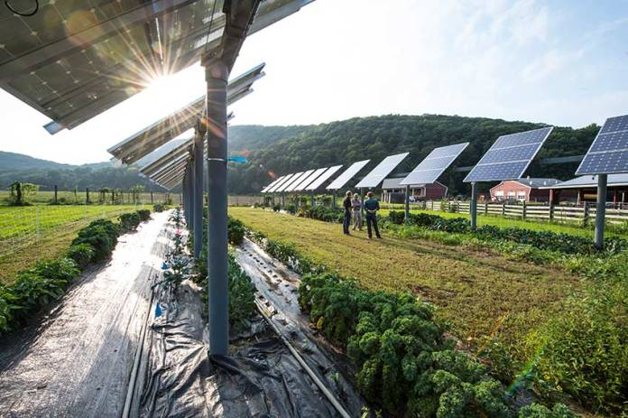 Photo of solar panels in a sunny field, with green, leafy crops growing in the soil beneath the panels, red buildings off to the righthand side, tree-covered hills in the background.