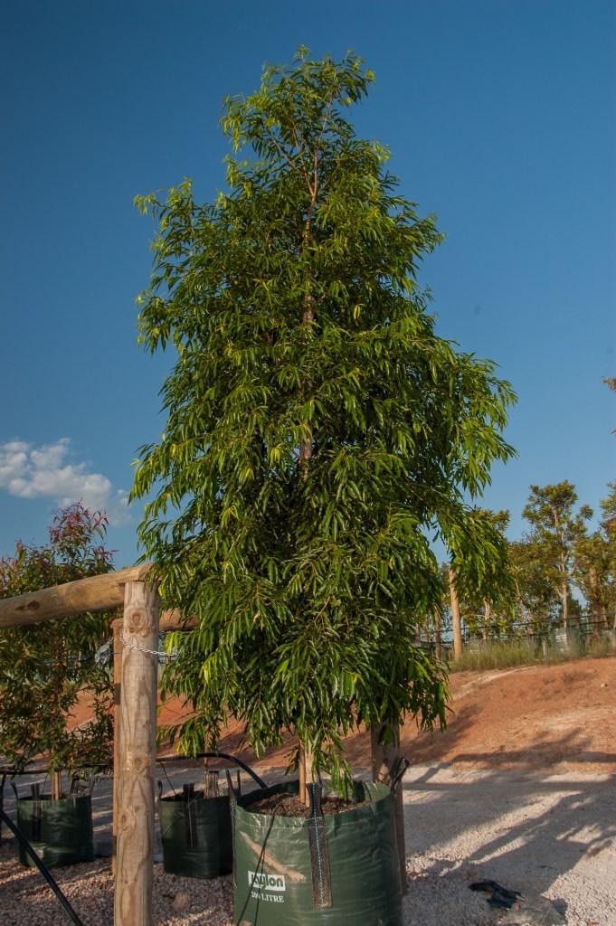 Waterhousea floribunda Sweeper 200lt