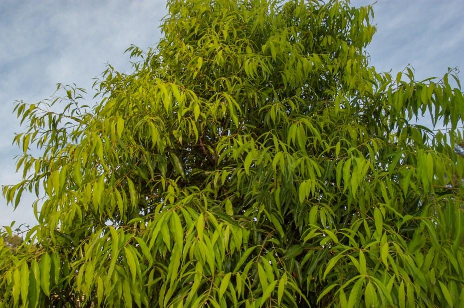 Waterhousea Sweeper foliage
