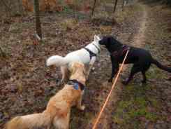 Sortie chiens libres - 17 Décembre 2017 (21)