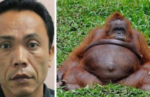 Zoo keeper impregnates arangutan in indonesia
