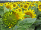 When they're mature, sunflowers stop tracking the sun and instead face solely eastward.