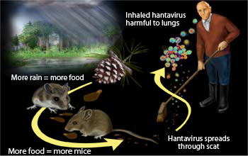 Increased Risk of Hantavirus Forecast for U.S. Southwest | NSF ...