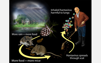 Multimedia Gallery - Hantavirus Cycle | NSF - National Science ...