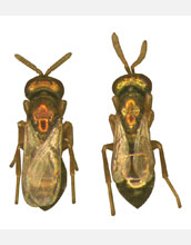 Photo showing wing size differences between two Nasonia wasp species.