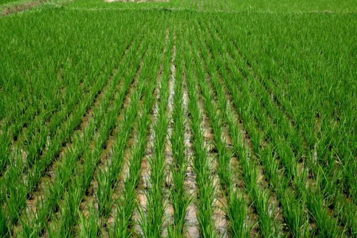 Rice farm (Photo: Internet)