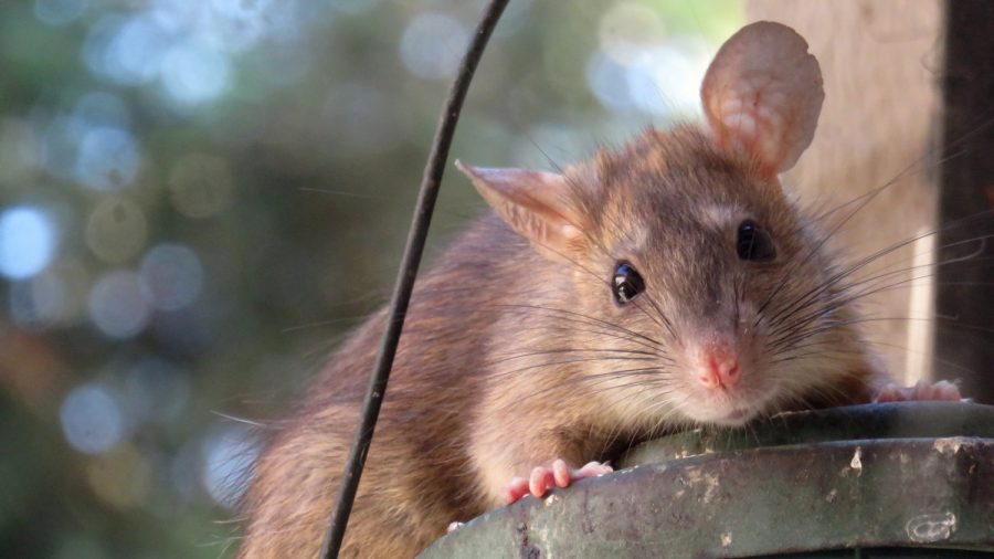 Infestation of Massive 'Cat-Sized' Rats in New Zealand Worries Locals