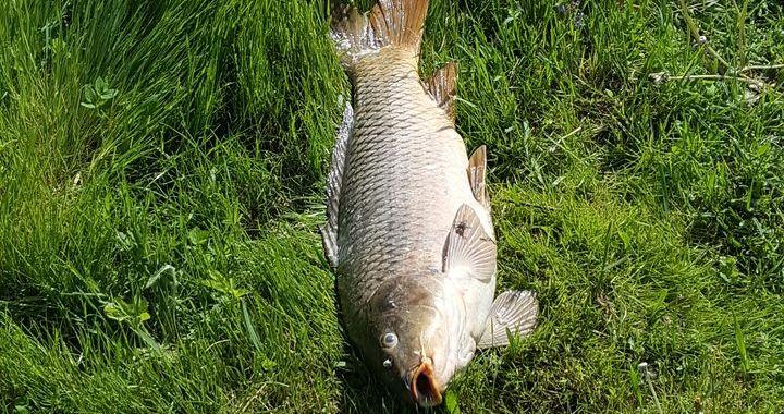 Jaunpils pusē dīķī nobeigušās zivis