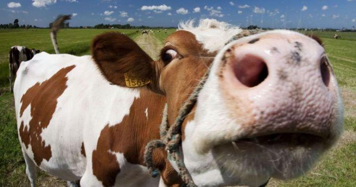 Kā sausā vasara ietekmējusi lopkopību novados?