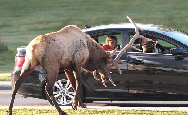 Rekords Latvijā – sadursmē ar dzīvnieku autovadītājam izmaksāts 11 561 lats!
