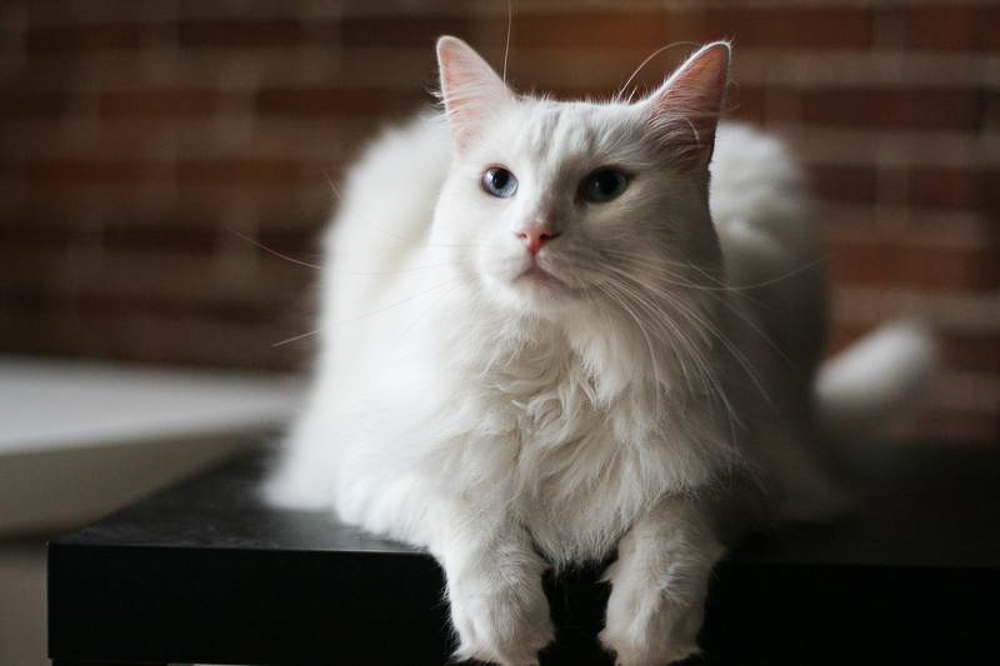 white, cat, fluffy ,cat, cafe