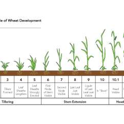 Corn Plant Life Cycle Diagram 4 Ohm Dual Voice Coil Wiring Crop Growth Chart Pictures To Pin On Pinterest Pinsdaddy