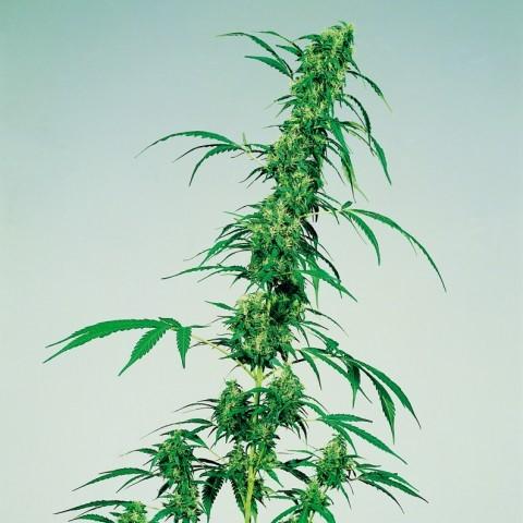 marihuana-medicinal-3.jpg?fit=480%2C480
