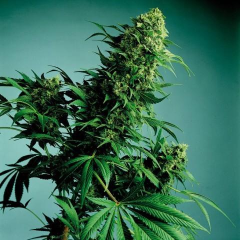 marihuana-medicinal-4.jpg?fit=480%2C480
