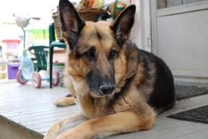 A German Shepherd lays down on our back porch.