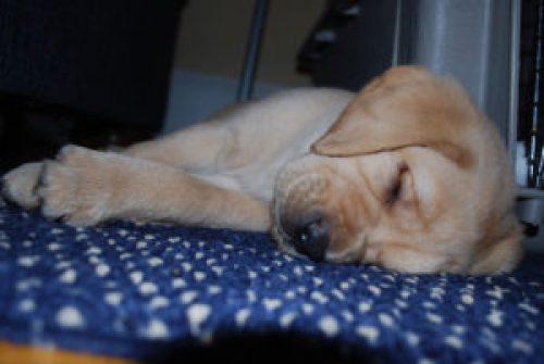 A yellow Labrador sleeps on a blue-and-white carpet.