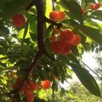 沼田で果物狩り♪【さくらんぼ】