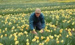 Picking daffodils