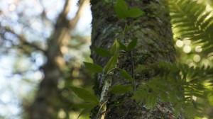 Leaves of native jasmine (Parsonsia heterophylla)