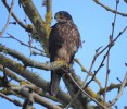 NZ Falcon Gordonton