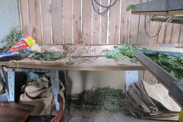 collecting medicinal plants