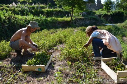 Collecting peppermint for essential oils