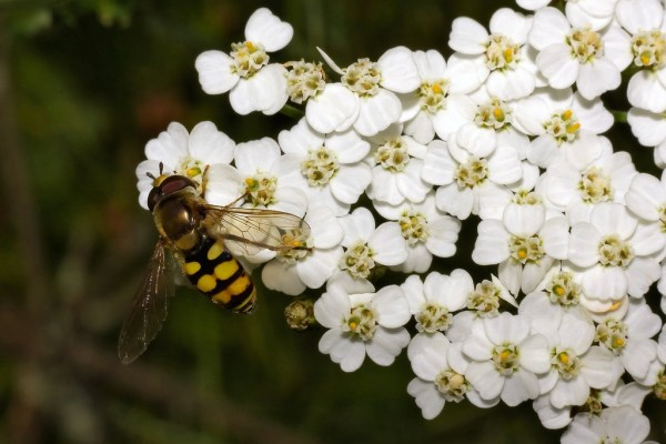 yarrow flower is an insectary plant, a great choice for organic pest control