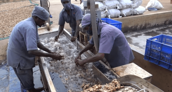 Following herbs Through the supply Chain: Processing Ginger