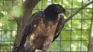 Ce vautour doté d'une prothèse est le « premier oiseau bionique »