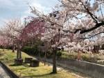 長野の桜NOW