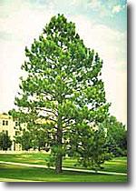 austrian pine seedlings, zones 3-7