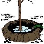 evergreen planting instructions watering berm
