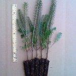 balsam fir plug seedlings