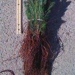 black hills spruce seedlings for sale