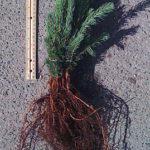 colorado blue spruce seedlings for sale