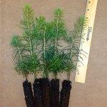 concolor fir plug seedlings for sale