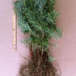 concolor fir transplants for sale