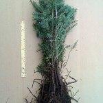 Douglas Fir evergreen transplants for sale