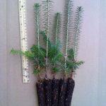 evergreen plug seedlings