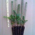 fraser fir plug seedlings for sale