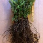 fraser fir seedlings for sale