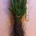evergreen seedlings of norway spruce